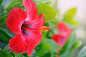 Close up of red hibiscus.