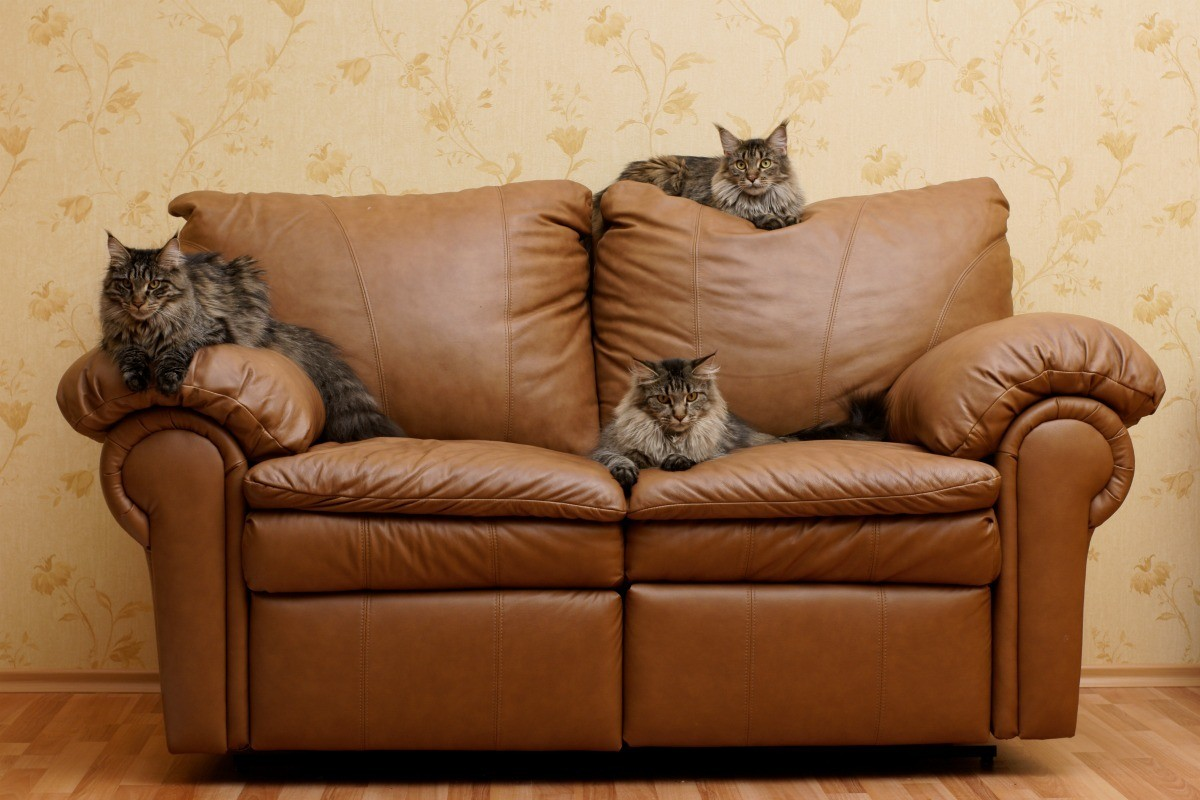 Awe Inspiring Protecting Leather Furniture From Cats Thriftyfun Ibusinesslaw Wood Chair Design Ideas Ibusinesslaworg