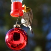 Happy Backyard Birds at Christmastime - Verdin bird on hummer feeder