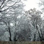 Snowy trees over a fence.