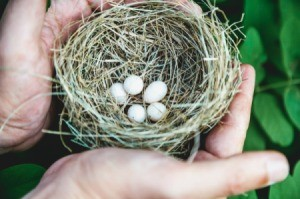 Hands gently moving a birds nest with small eggs.
