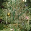 An outdoor evergreen tree decorated for Christmas.