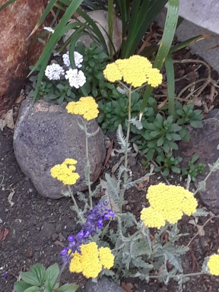 A patch of bright yellow flowers in a garden.