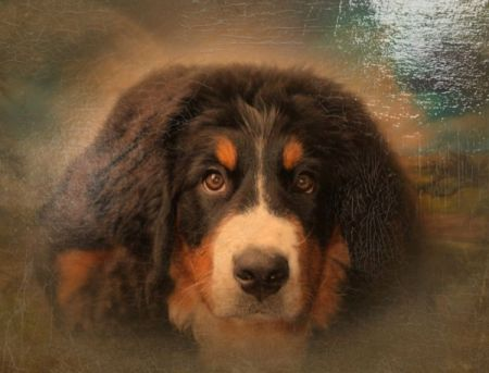 Abbey Road (Bernese Mountain Dog)