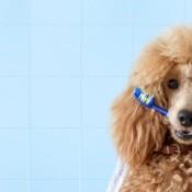 Poodle Ready for Bath