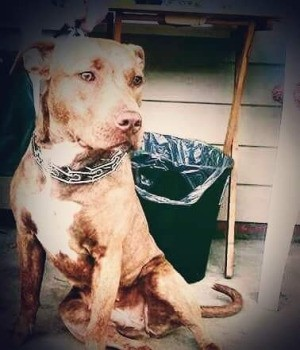 How Much Should a 6 Month Old Pit Bull Weigh?