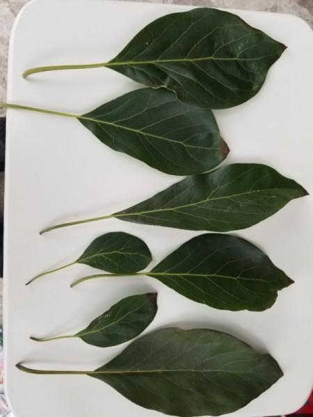 Avocado Tree Dropping Leaves