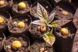 Avocado Tree Seeding Outside
