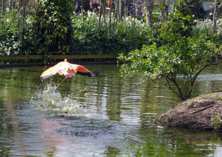 A flock of flamingos at Chester Zoo, UK.