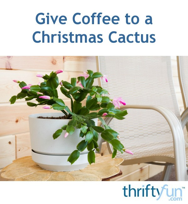 Are Christmas Cactus Poisonous.Give Coffee To A Christmas Cactus Thriftyfun