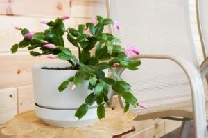 Christmas Cactus on Table