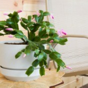 Christmas Cactus on Table