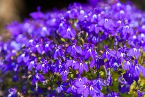 Purple Lobelia Flower