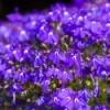 Purple Lobelia Flower