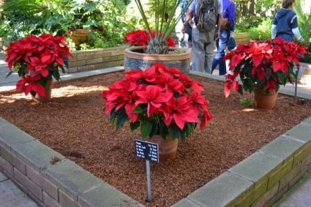 Poinsettias in Balboa Park, CA.