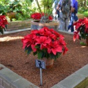 Poinsettias in Balboa Park, CA.