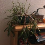 Identifying a Houseplant - grassy, droopy plant with green leaves and purple base
