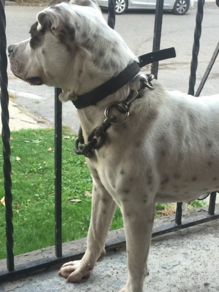 Is My Dog a Full Blooded Pit Bull? - white dog with black spots