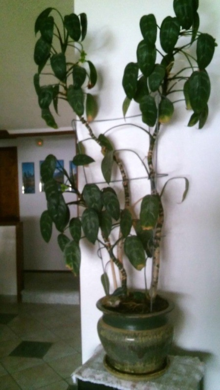 Identifying a Houseplant - very tall plant