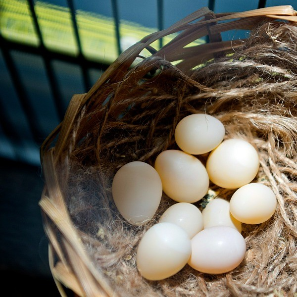 Moving a finch egg thriftyfun moving a finch egg that is outside of the nest should not be a problem the birds will likely still care for it this is a guide about moving a finch egg forumfinder Images