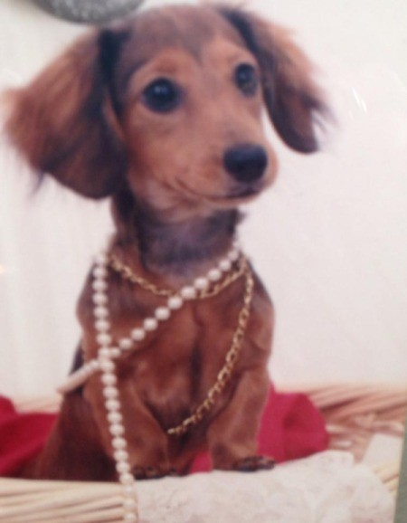 Carmel Ann (Mini Dachshund) - pretty Dachshund wearing necklaces