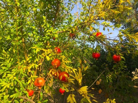 Juicing and Growing Your Own Pomegranates - pomegranate fruit on trees