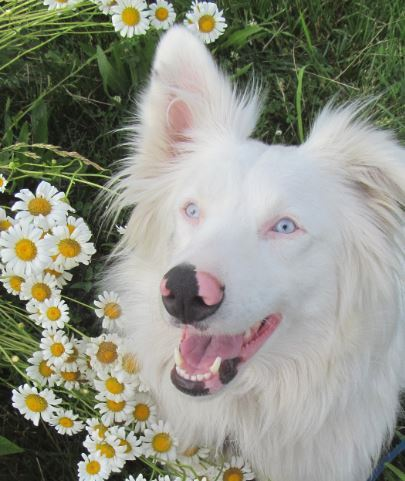Madelyn Snow (Australian Shepherd)