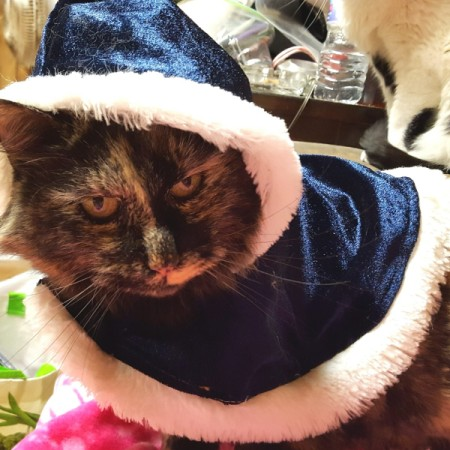 Bella (Tortoiseshell) - cat wearing dark blue fur trimmed cape