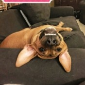 Hank (Hound Mix) - upside down dog face as dog is lying on the couch