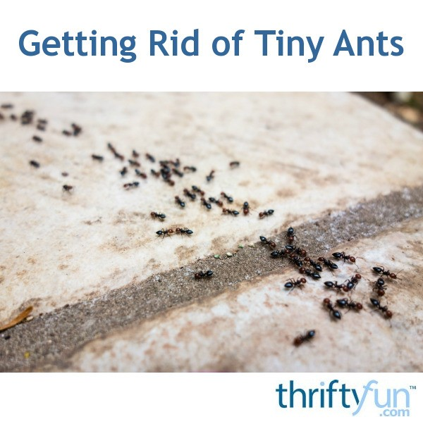 getting rid of tiny ants thriftyfun. Black Bedroom Furniture Sets. Home Design Ideas