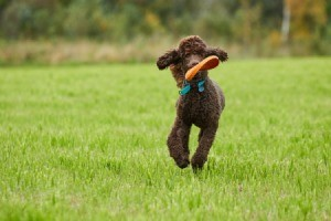 Poodle Fetching Frisbee