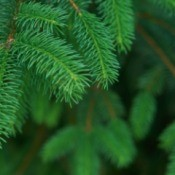 Evergreen Branches