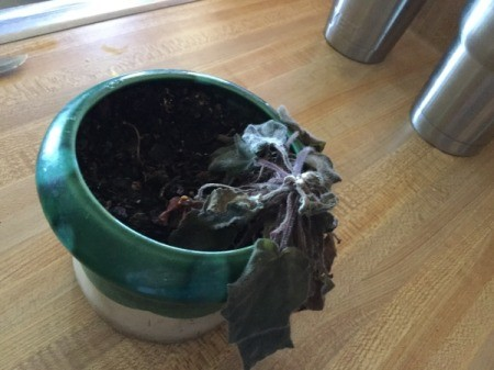 Saving a African Violet Exposed to Cold Temperatures