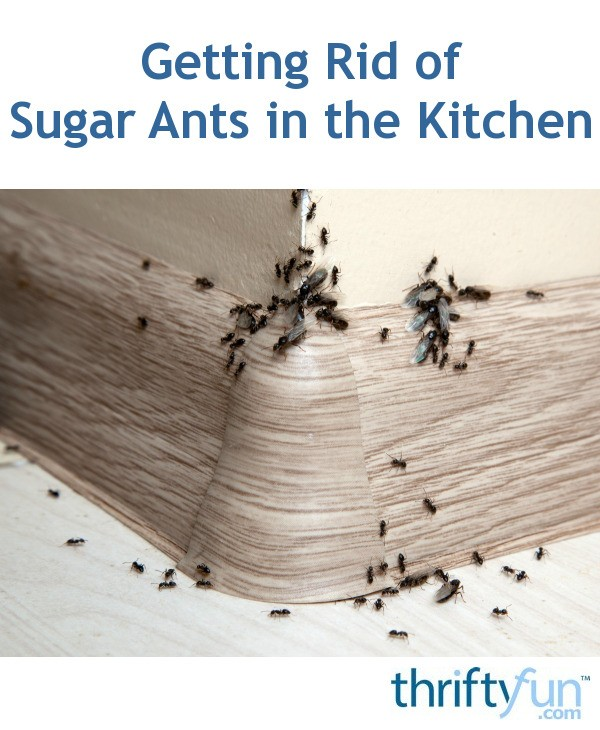 Getting Rid Of Sugar Ants In The Kitchen
