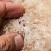 Ticks on Dog