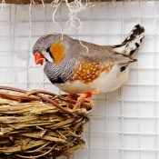 Zebra Finch Not Sitting on Eggs Looking Down at Nest