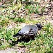 Trivia About Robins - robin on the ground