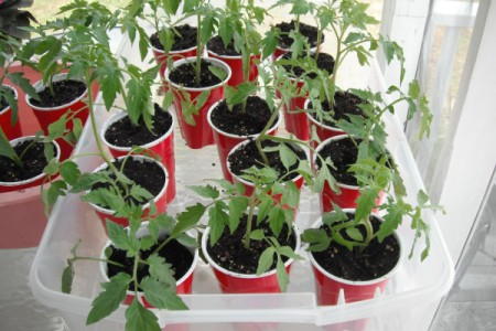 Grow your Own Tomato Plants - plants in cups