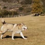 Husky Running on Grass