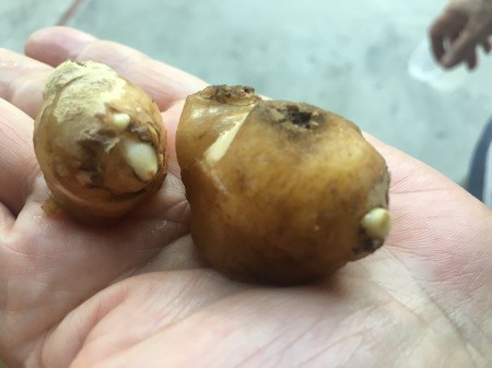 Grow Your Own Ginger - ginger bulb