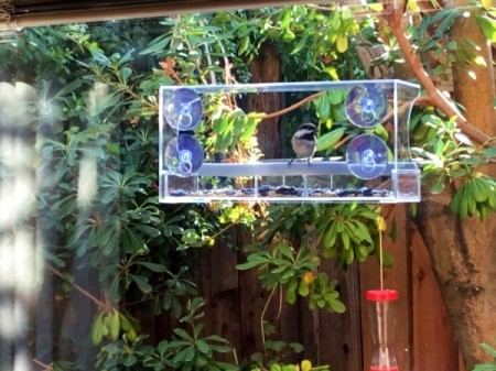 Clear Bird Feeder Visitors - chickadee in feeder