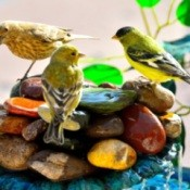 Yellow finches on backyard fountain
