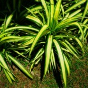 Spider Plants Outdoors