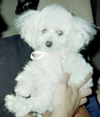 A white toy poodle.