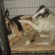 Silver (Borzoi) and Irish (German Shepherd)
