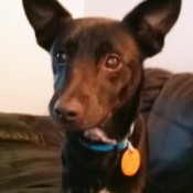 What Breed Is My Dog? - black dog with big pointy ears