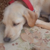 Caring for a Dog with Parvo - cream colored puppy