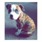American Bulldog or Pitbull - brindle puppy