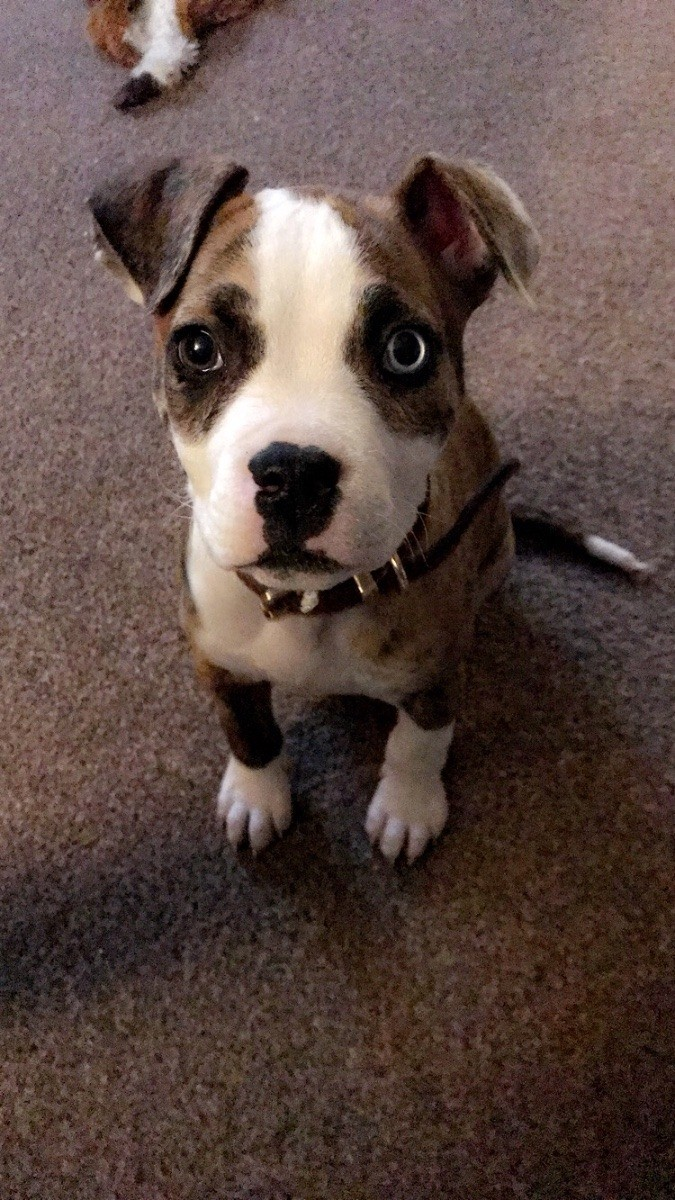 How Can I Tell If My Dog Is a Pit Bull?   ThriftyFun