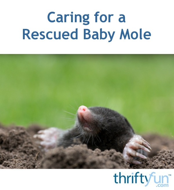 Caring For A Rescued Baby Mole Thriftyfun